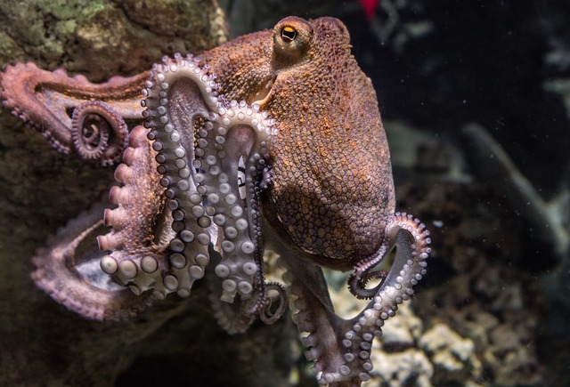 This octopus prefers to be called 'Frank', but that's just him.